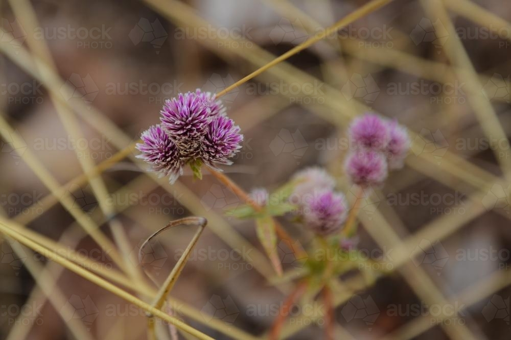 Close up of small purple wildflowers in the dry grass - Australian Stock Image