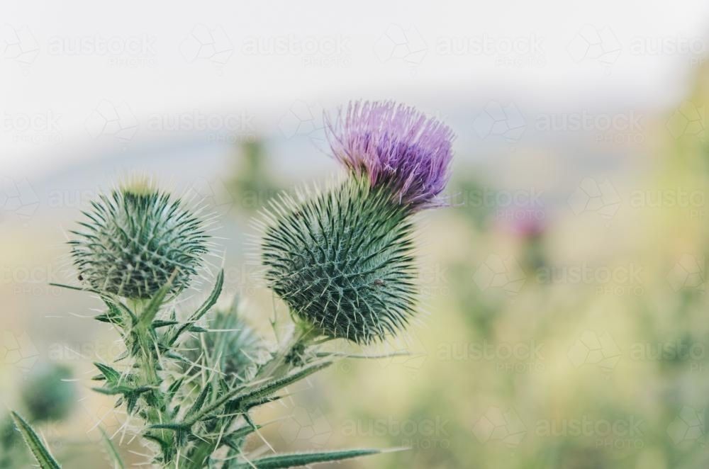 Close up of Thistle flowers - Australian Stock Image