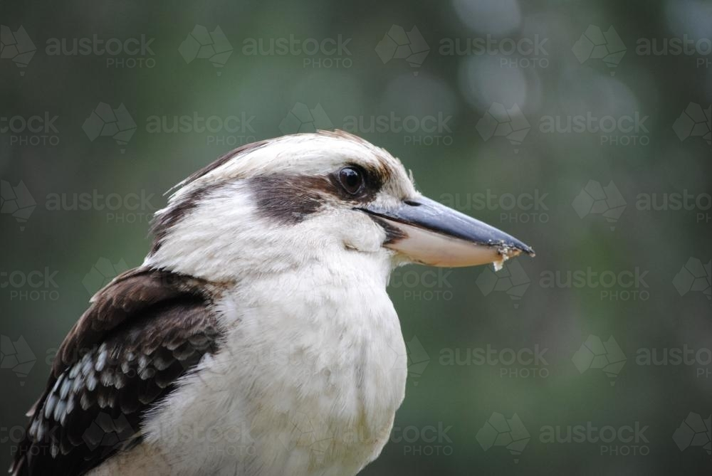 Close up photo of  a kookaburra - Australian Stock Image
