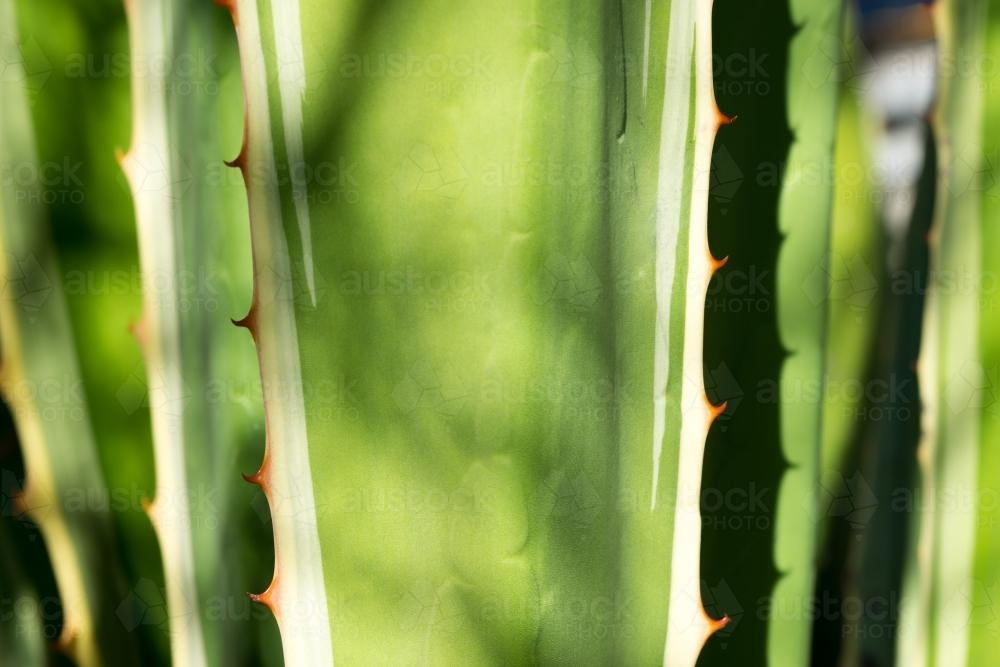 Close up shot of green spines of aloe vera cactus - Australian Stock Image