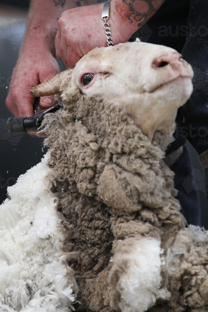 Closeup of shearing a sheep - Australian Stock Image