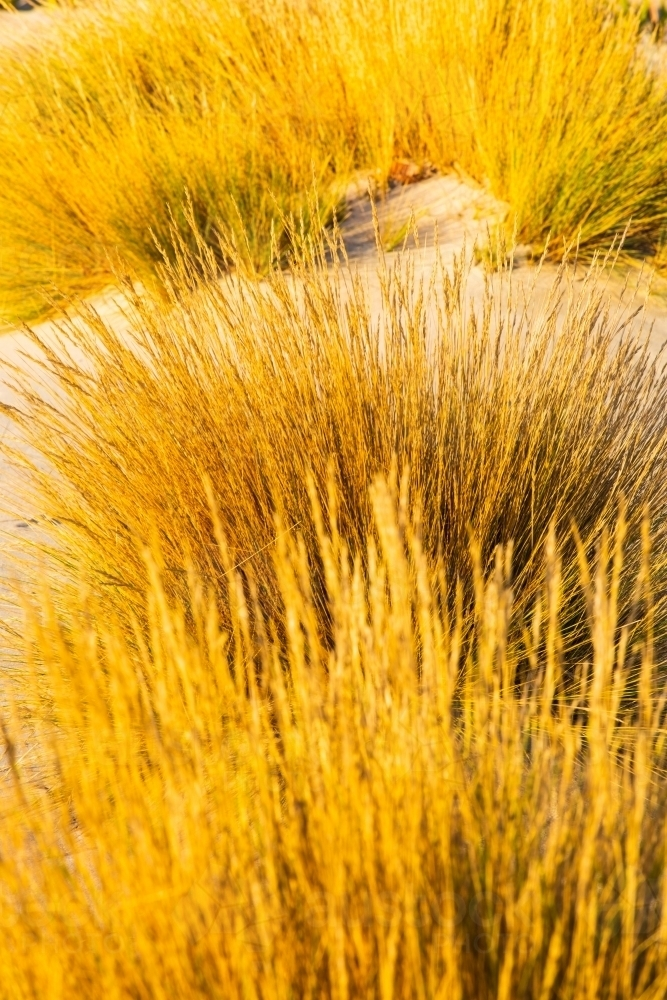 Coastal grasses and sedges growing on a sand dune - Australian Stock Image