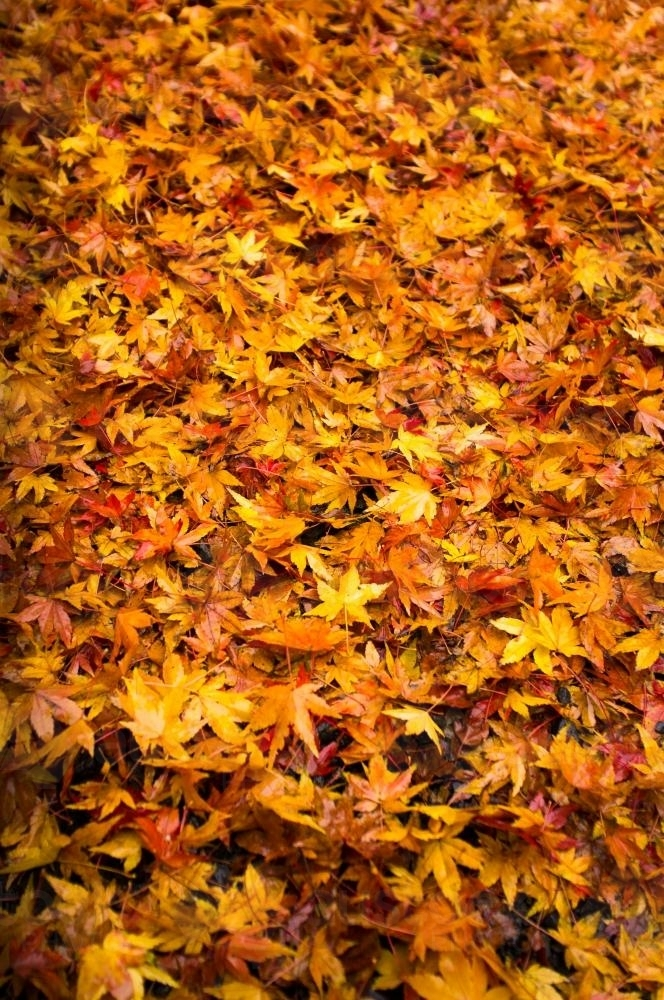 Colorful Autumn leaves - Australian Stock Image