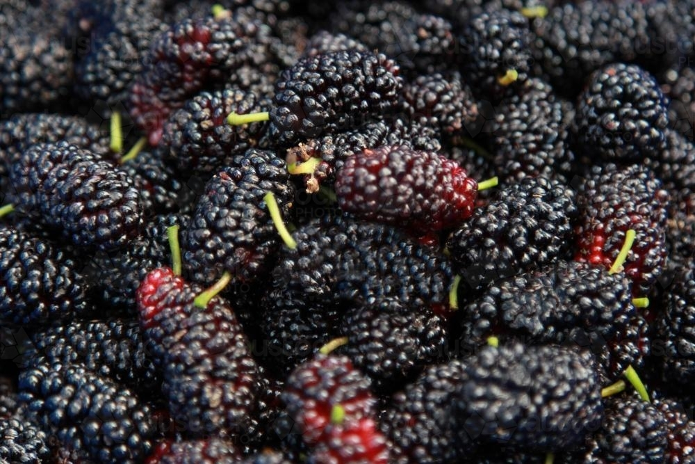 Container of ripe mulberries - Australian Stock Image