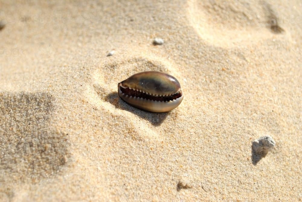 Cowry shell in the sand - Australian Stock Image