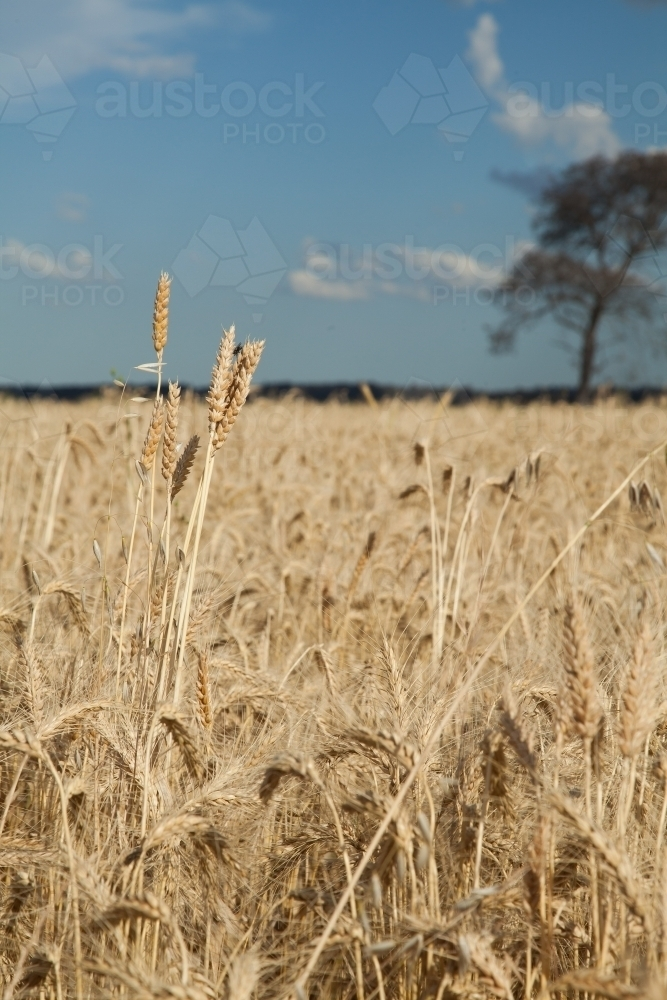 Image Of Crop Of Wheat Growing On A Country Farm In The