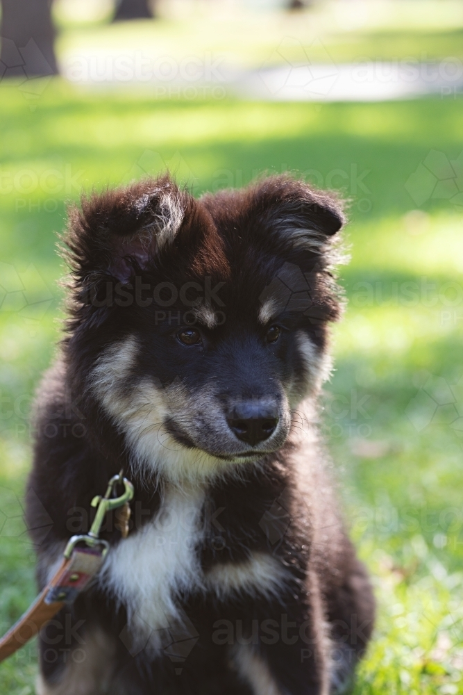 Image Of Cute Finnish Lapphund Puppy Dog In A Park In Melbourne