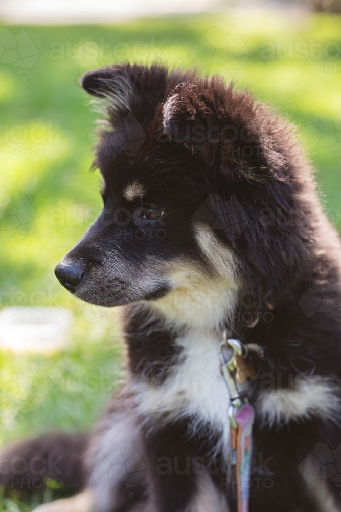 Cute Finnish Lapphund puppy dog in a park in Melbourne - Australian Stock Image