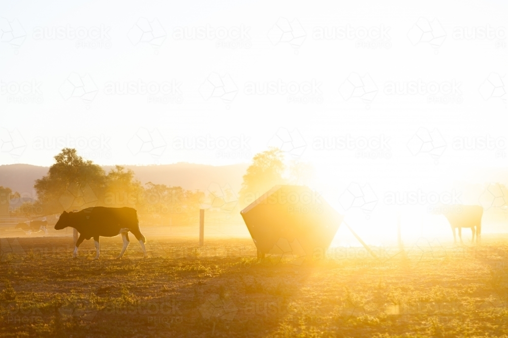 Dairy cow in dusty paddock at sunset backlit with golden light - Australian Stock Image