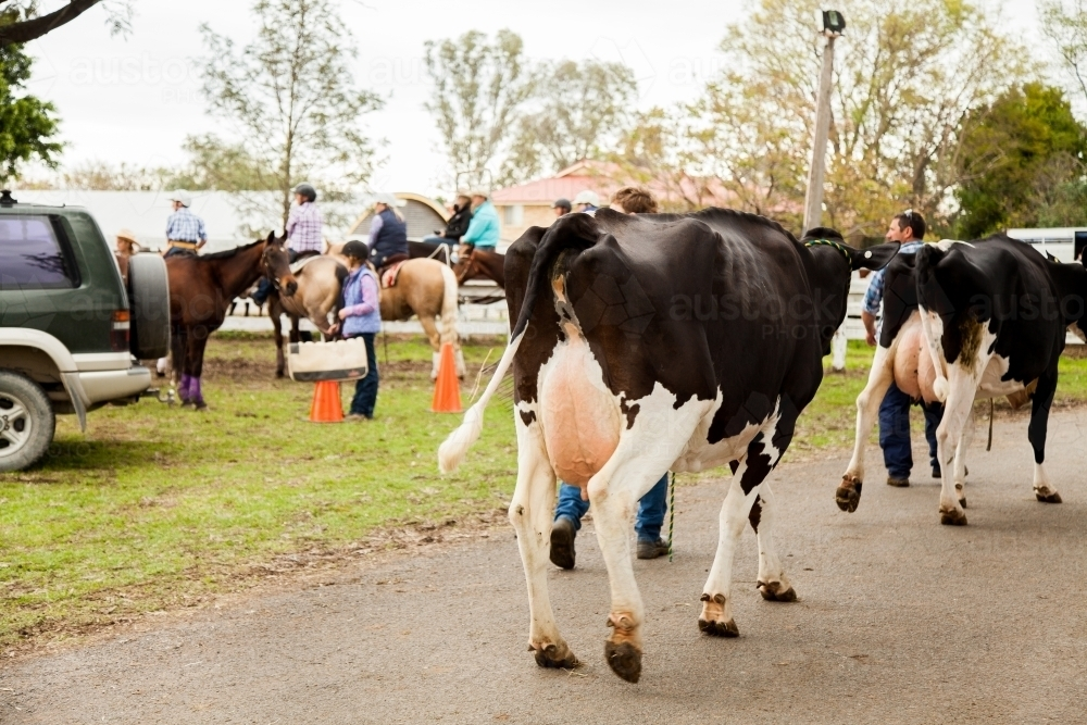 Dairy cows being lead around showground - Australian Stock Image
