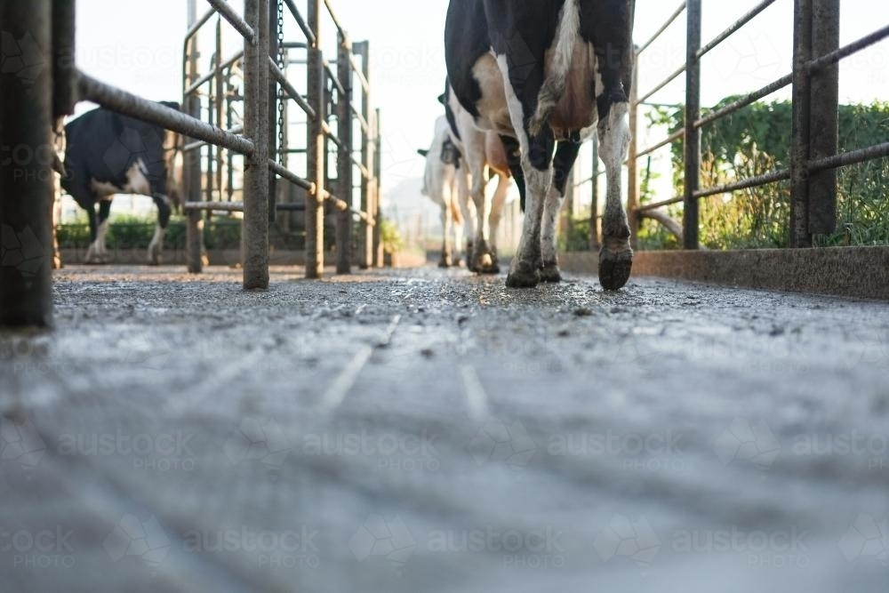 Dairy cows walking out after being milked - Australian Stock Image