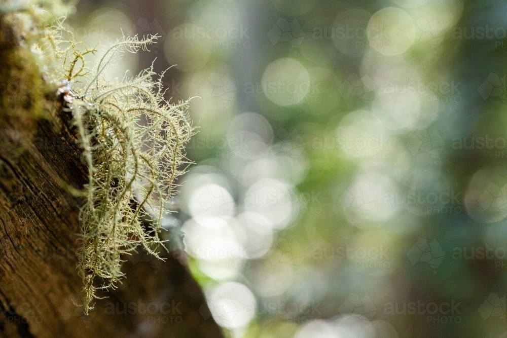 Delicate lichen plant growing on log in forest - Australian Stock Image