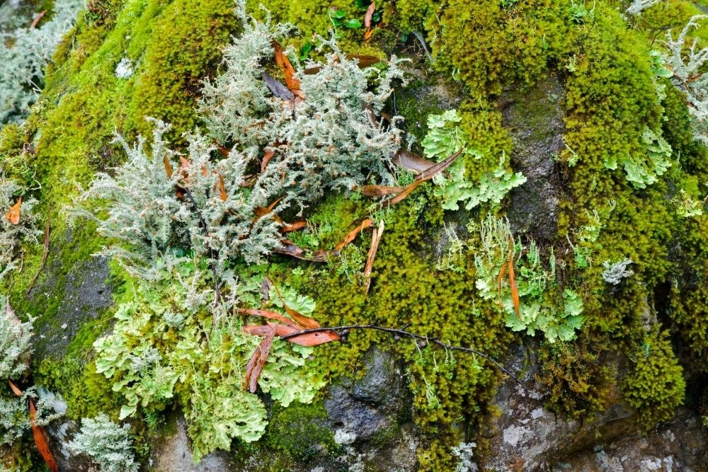 Detail shot of lichens and mosses with varying shades of green - Australian Stock Image