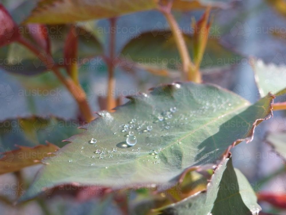 Dew drops on a rose leaf - Australian Stock Image