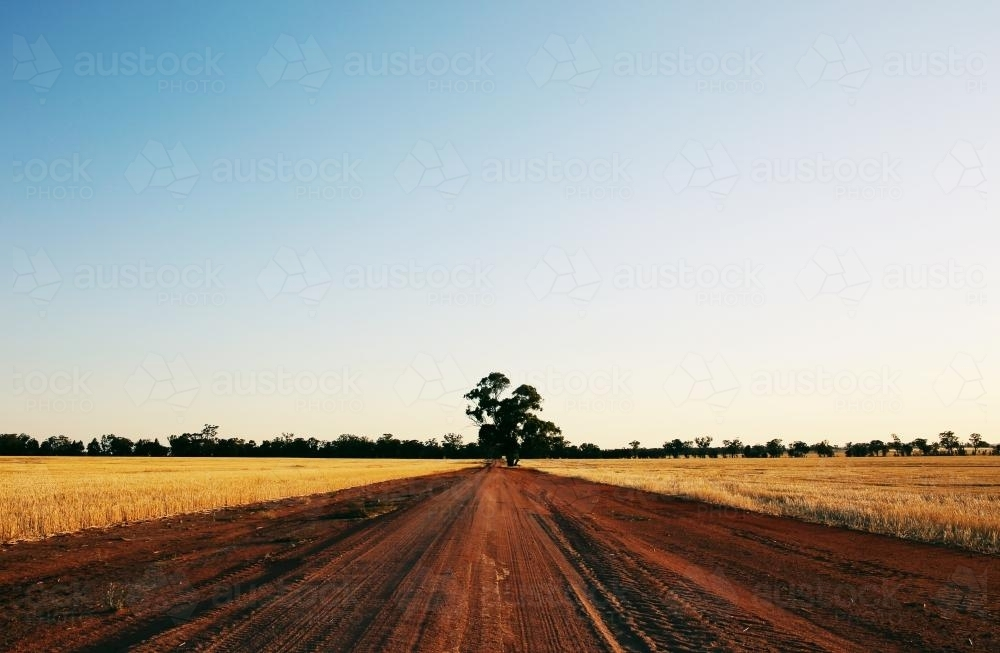 Dirt road through wheat farms. - Australian Stock Image