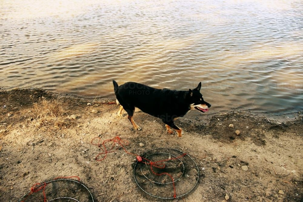 Dog by the Water - Australian Stock Image