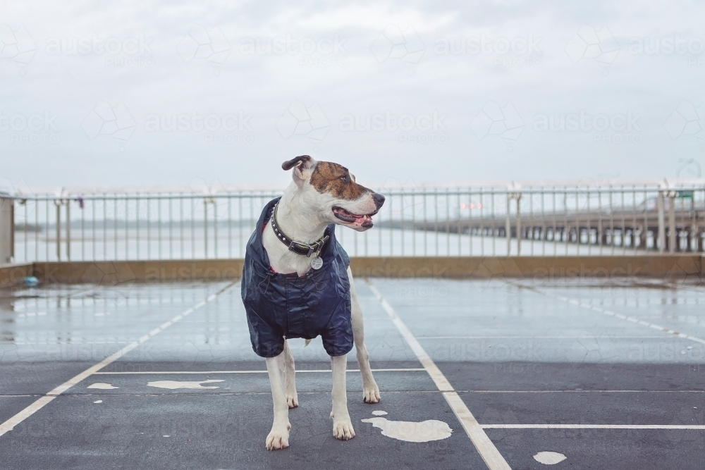 dog in a raincoat in the rain - Australian Stock Image