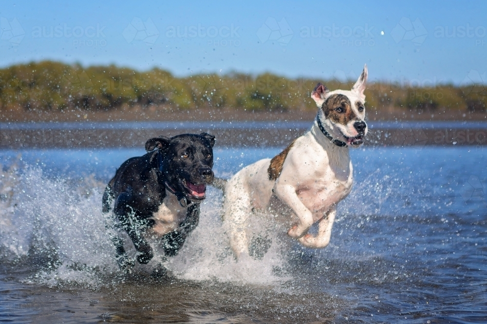 dogs splashing in low tidal waters on the beach - Australian Stock Image