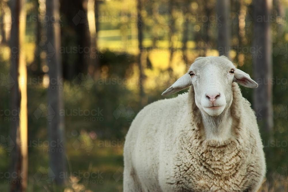 Dorper Ewe with trees behind - Australian Stock Image