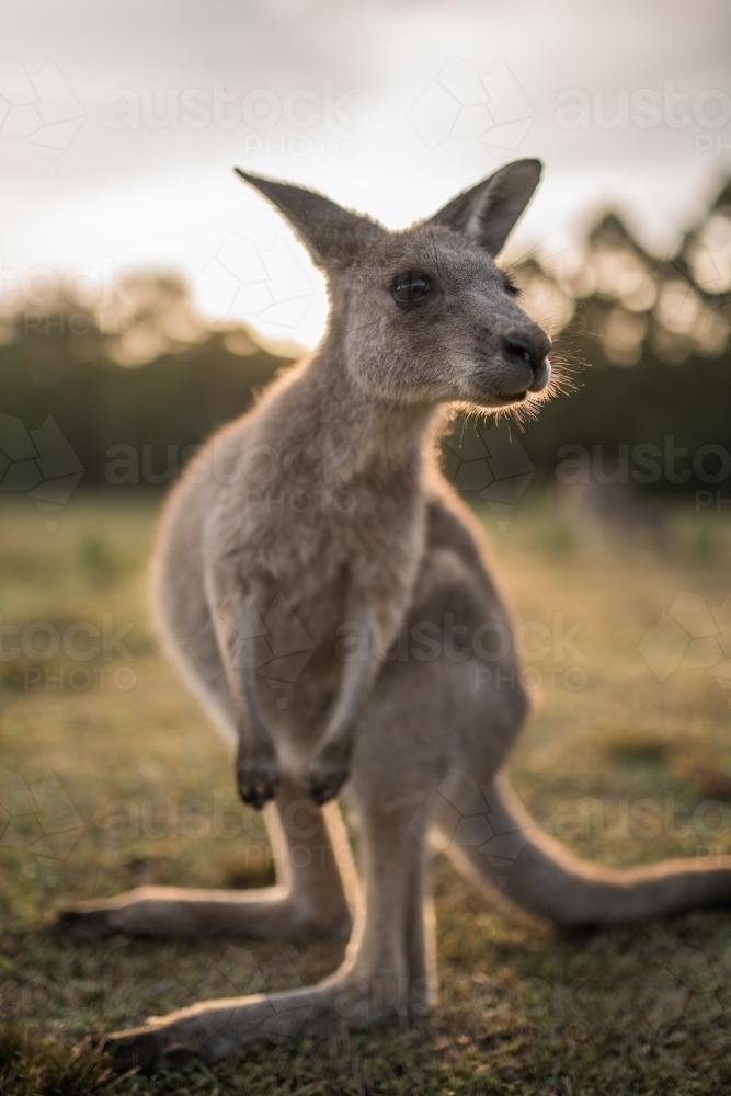 Image of Eastern Grey Kangaroo joey close up - Austockphoto