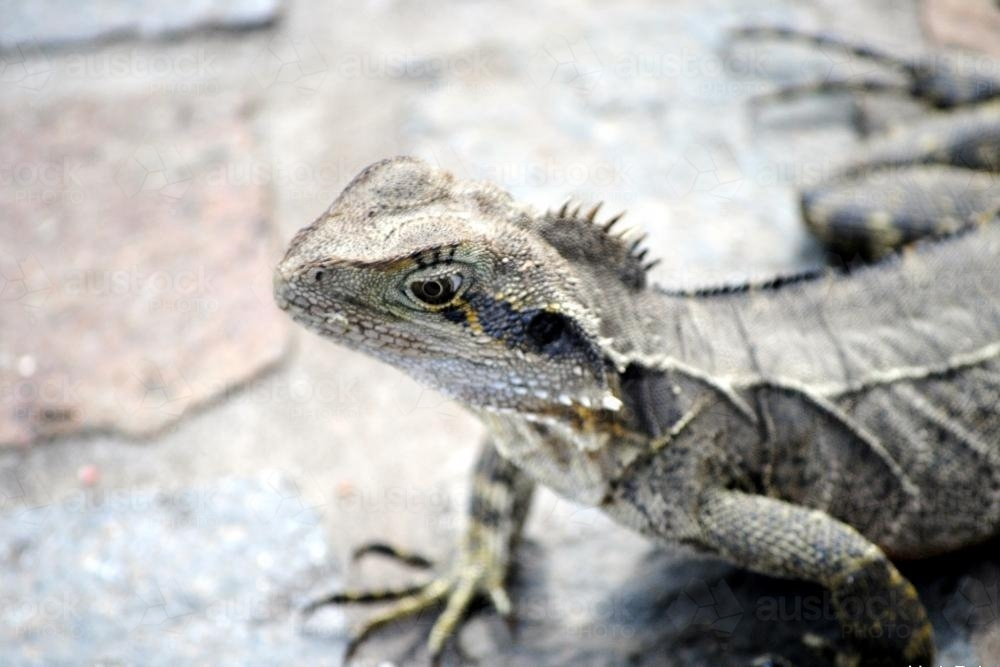 Eastern water dragon - Australian Stock Image