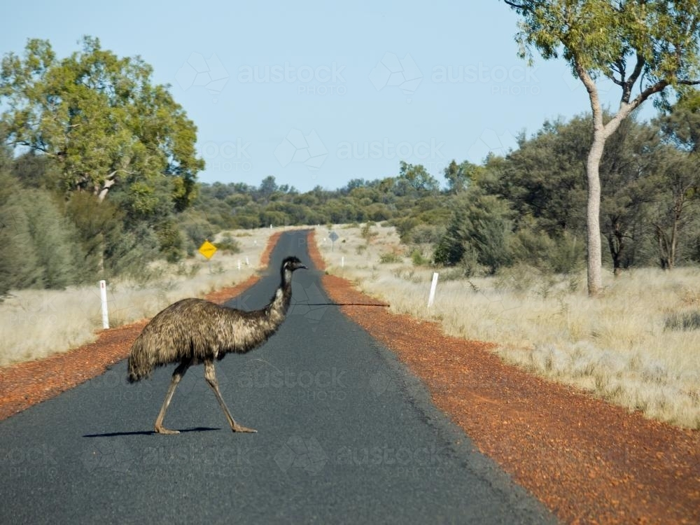Emu crossing a bitumen road in the outback - Australian Stock Image