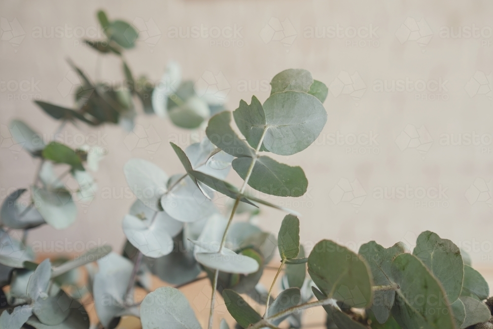 Eucalyptus gum leaves, native plants - Australian Stock Image