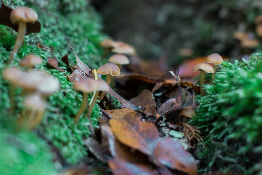 Extreme close up of tiny mushrooms growing amongst the moss of the forest floor - Australian Stock Image