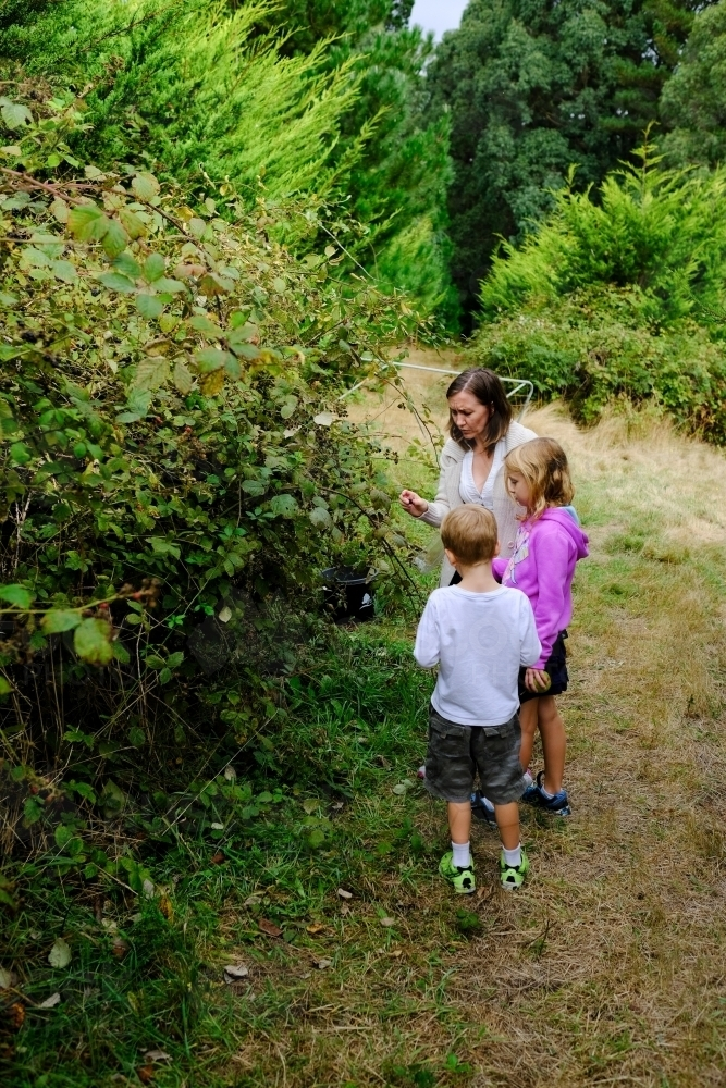 Family picking blackberries from a bush in Victoria - Australian Stock Image