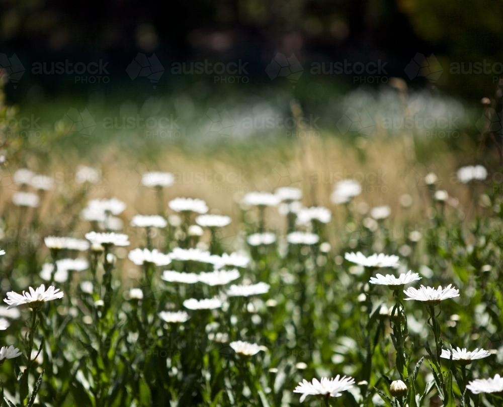 Field of white flowers in the full sun - Australian Stock Image