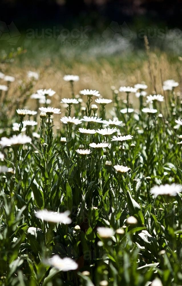 Field of white flowers in the full sun, in profile - Australian Stock Image