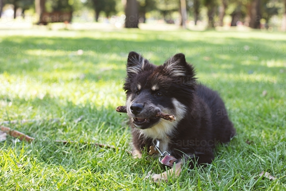 Finnish Lapphund puppy dog at the park - Australian Stock Image