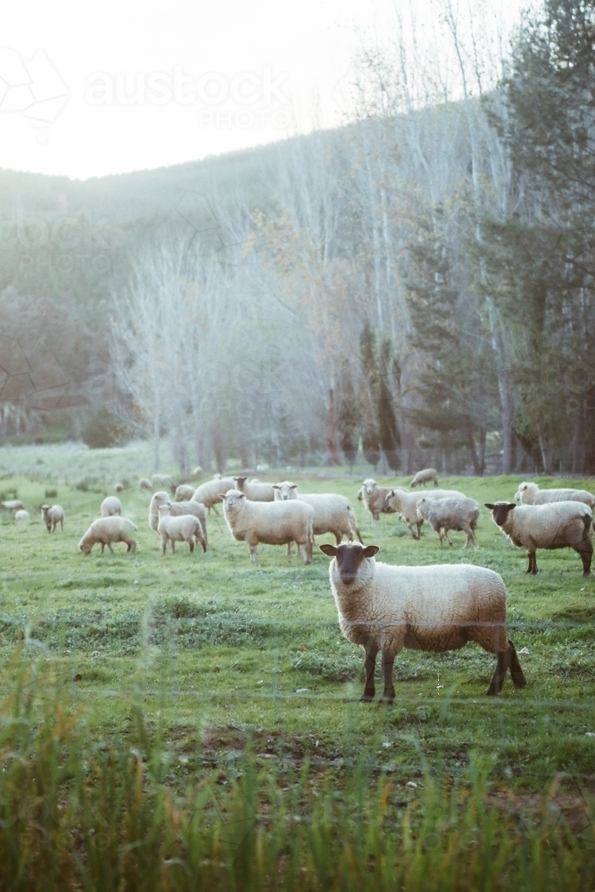 Flock of sheep near hills - Australian Stock Image