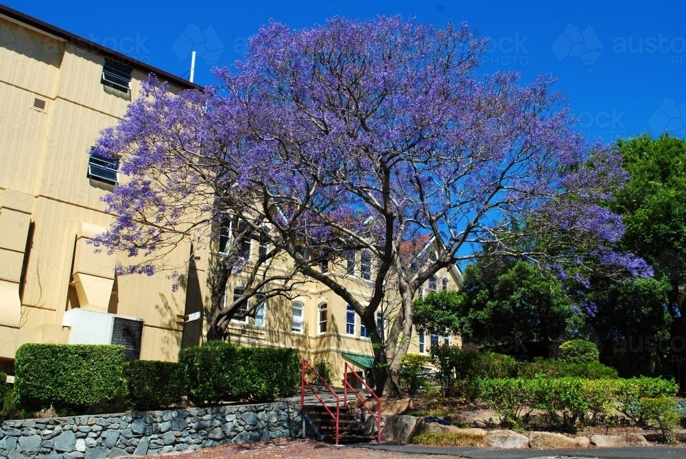 Flowering jacaranda tree in Spring Hill, Brisbane - Australian Stock Image