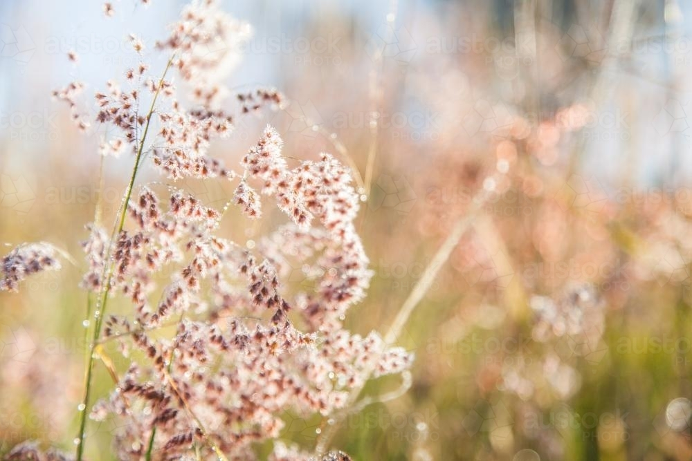 Fluffy pink grass covered in dew in the morning light - Australian Stock Image