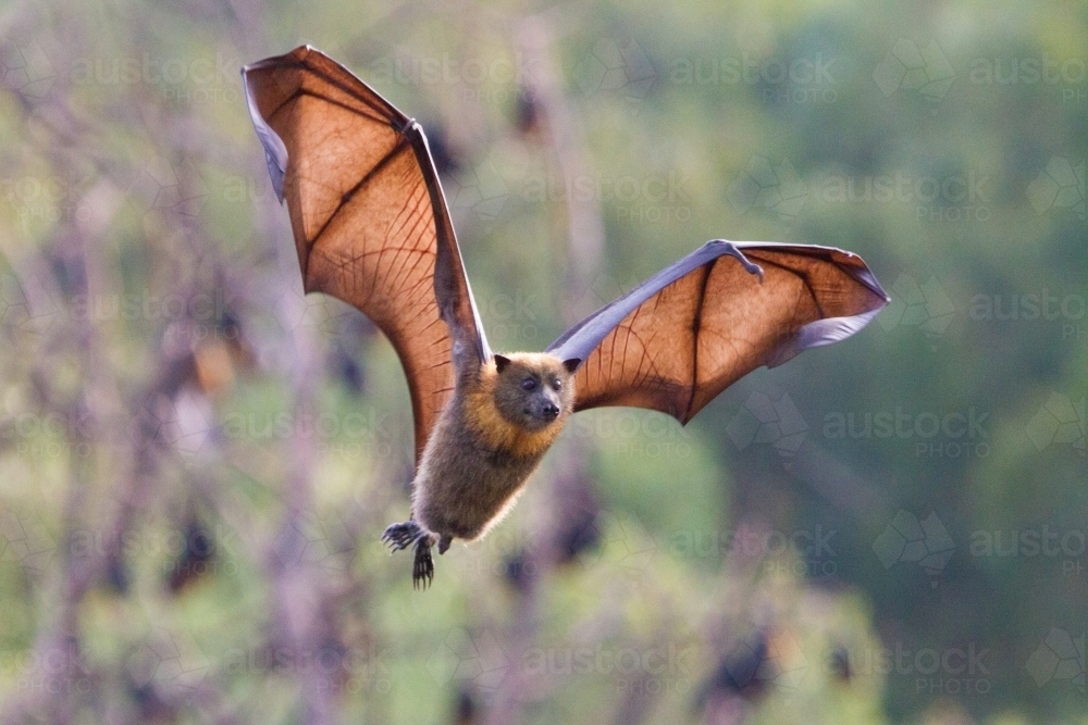 Australian Flying Fox Hands Image of Flying...