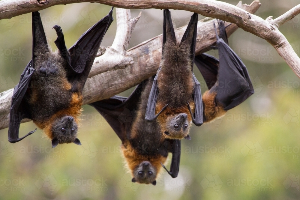 Image Of Flying Foxes Hanging Upside Down Austockphoto