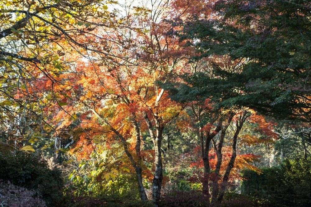 Forest trees in autumn - Australian Stock Image