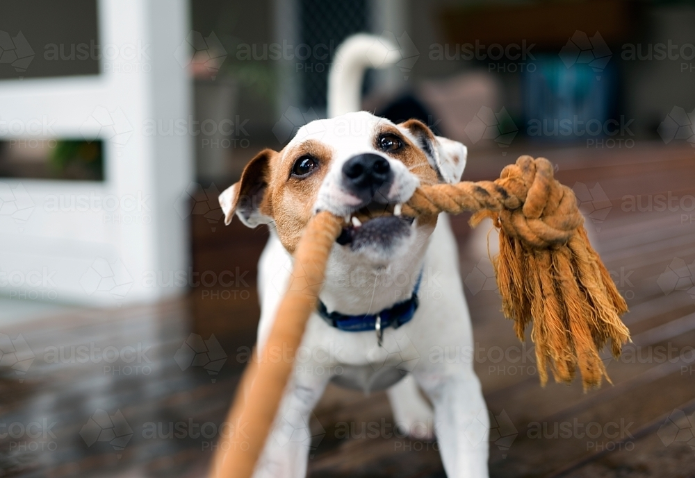 "Fox terrier dog playing ""pull the rope"". - Australian Stock Image"