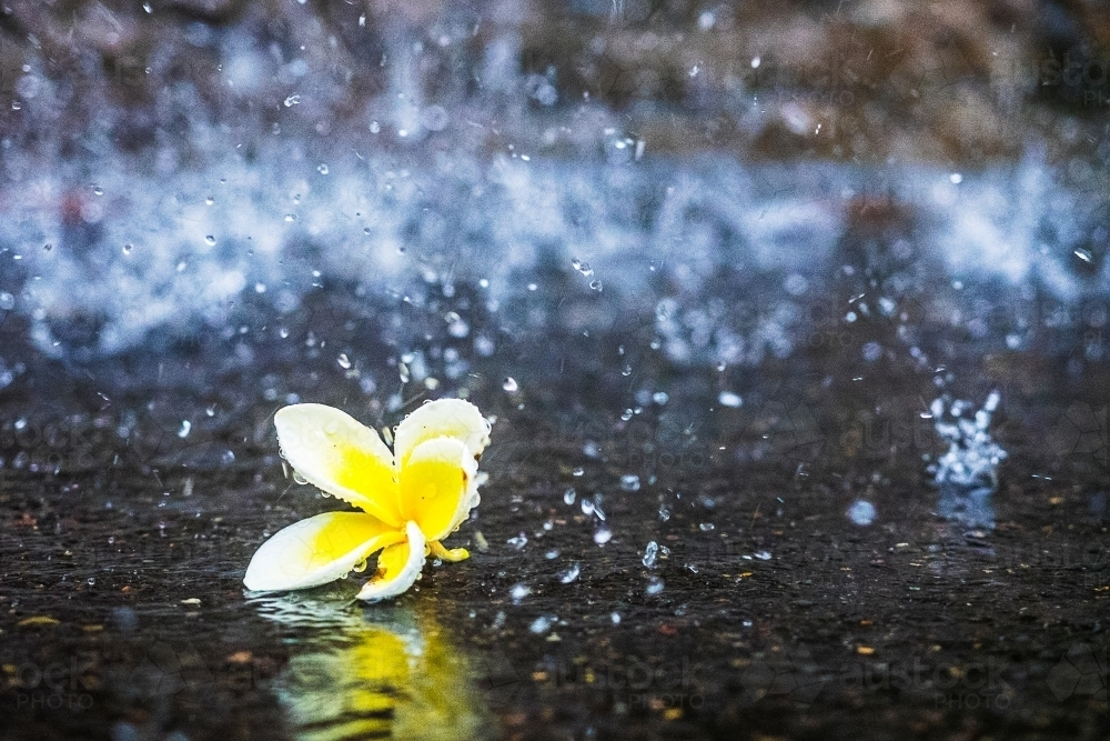 Frangipani in the storm - Australian Stock Image