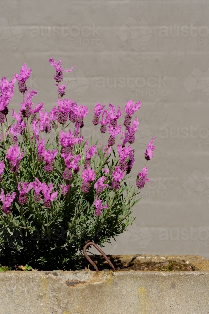 French Lavender - Australian Stock Image