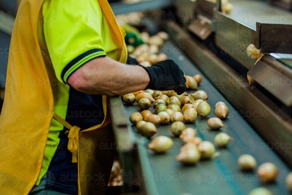 Fresh onions being graded - Australian Stock Image