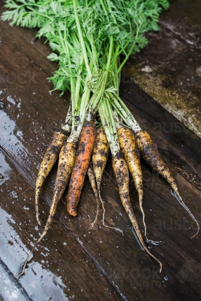 Freshly harvested organic carrots with earth on them - Australian Stock Image