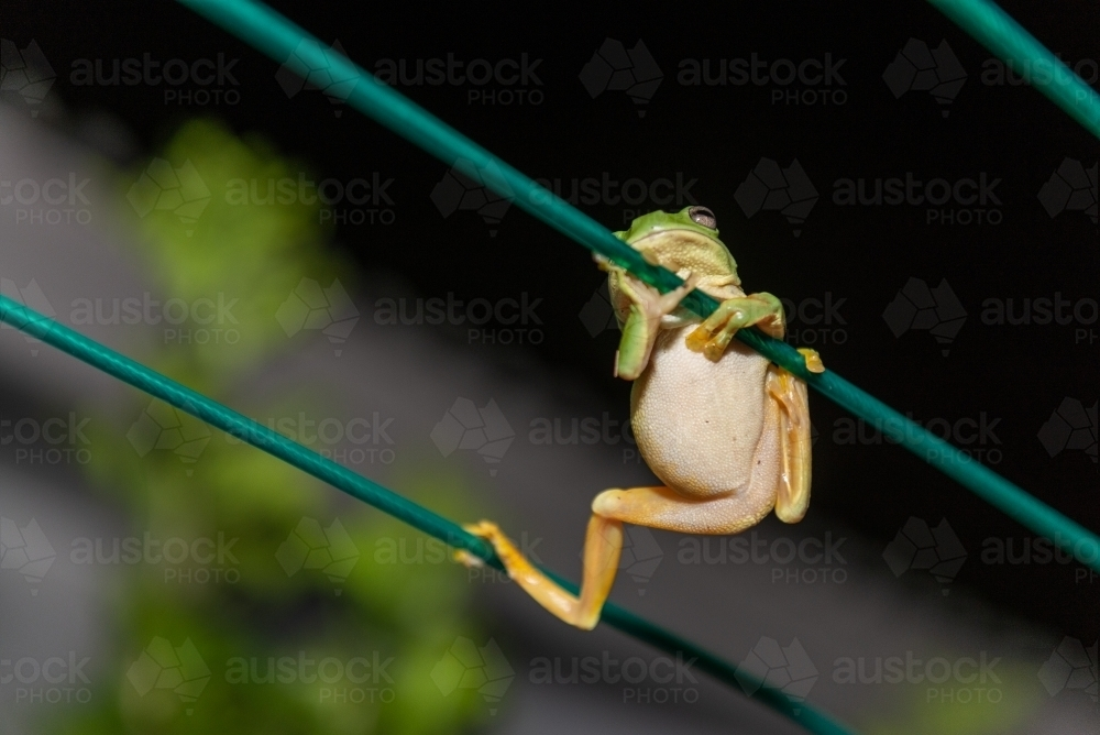 Frog hanging on clothes line - Australian Stock Image