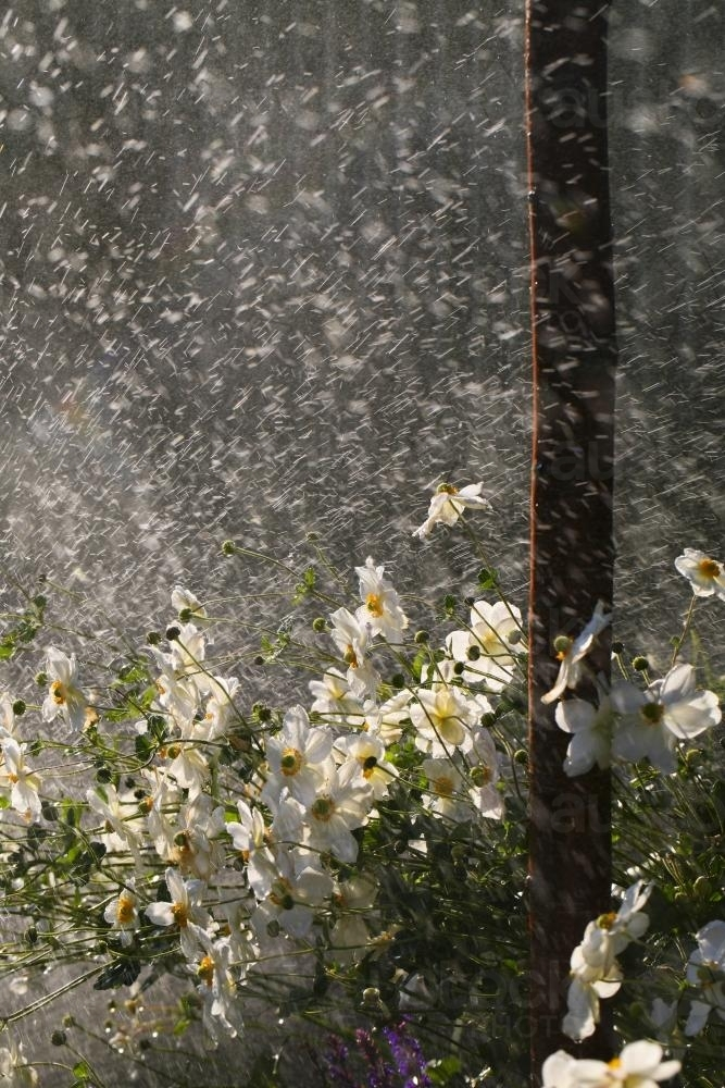 Garden bed of japanese anemone flowers being wet by a sprinkler - Australian Stock Image