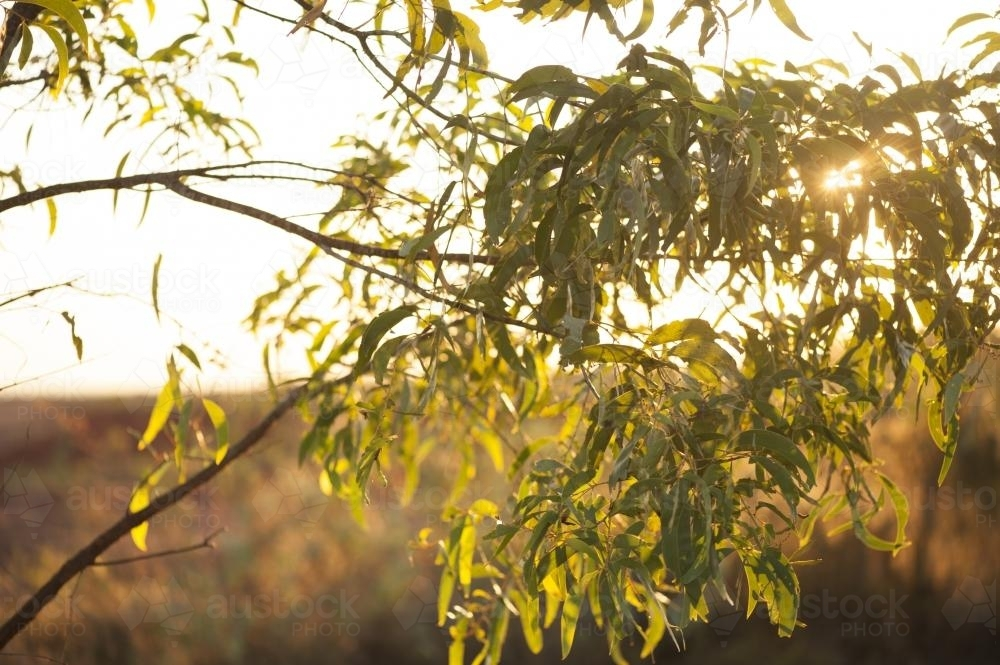 Golden sunrise through gum branches and leaves - Australian Stock Image