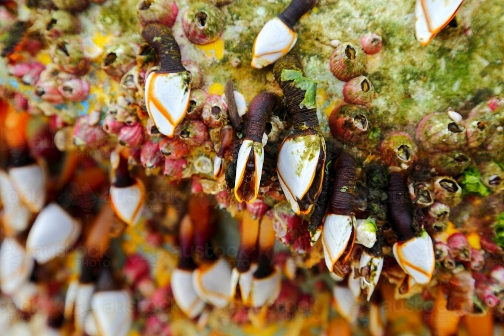 Gooseneck barnacles on a marine buoy that washed ashore at Yamba - Australian Stock Image