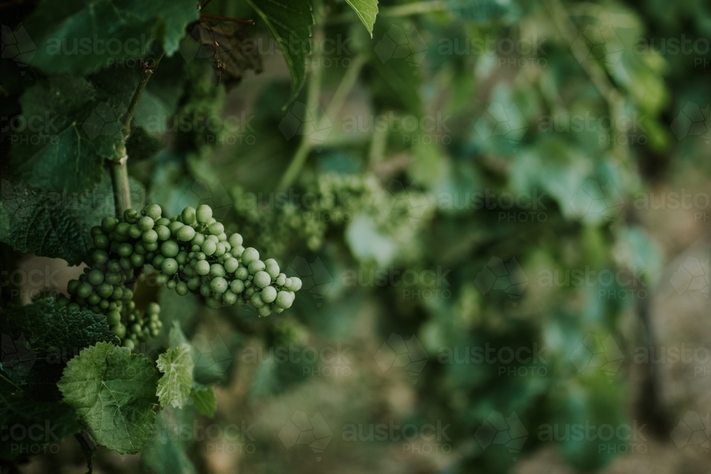 Grape vine at winery - Australian Stock Image