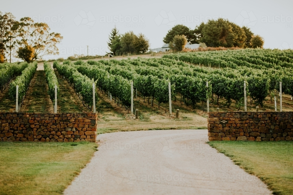 Grapevine at winery - Australian Stock Image