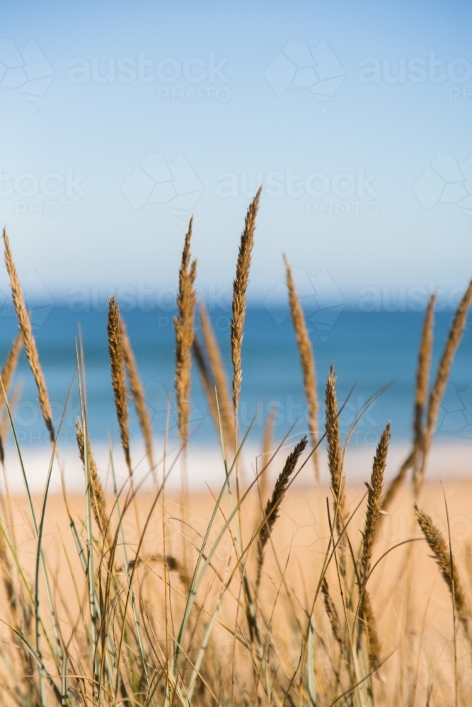 Grass against a background of sea and beach - Australian Stock Image